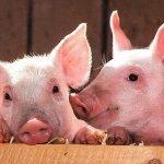 pigs 1507208 1280