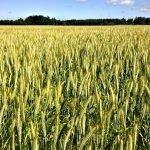 Das Bild zeigt einen Getreideacker.