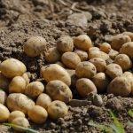 Das Bild zeigt geerntete Kartoffeln auf einem Acker.