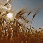 Das Bild zeigt ein Getreidefeld.
