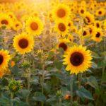 Das Bild zeigt ein Sonnenblumenfeld.