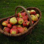 Das Bild zeigt einen mit Äpfeln gefüllten Erntekorb.